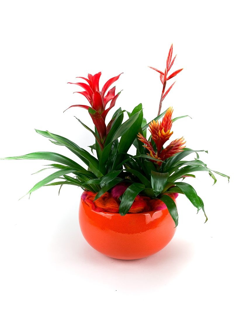 3 types of red-green bromelias form this potted composition in ceramic pot