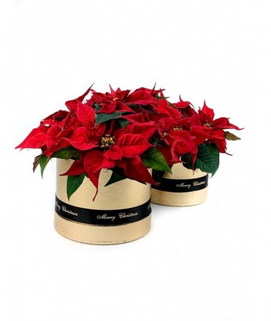 Csodás piros mikulásvirág arany díszdobozban boldog karácsonyt feliratú szalaggal